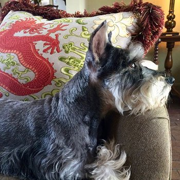 a gray Schnauzer resting on a dragon pillow