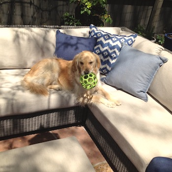 a golden retriever sits on an outdoor sofa, carrying a green ball in her mouth