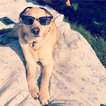 Tawny retriever named Ginger wearing sunglasses