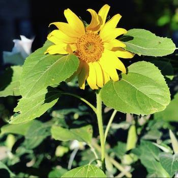 a bright yellow sunflower